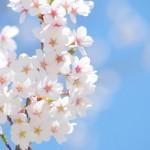 東京の桜にまつわる温泉・公園・場所を巡ってみよう!