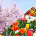 昭和記念公園で桜とチューリップ・菜の花・ポピーが共演!