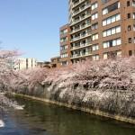 目黒川のお花見ルート・スポット・公園は?