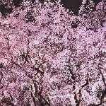 六義園桜のライトアップ2016。しだれ桜の場所と混雑は?