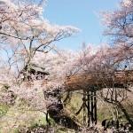 高遠桜まつり2016。どんなイベントが?見ごろはいつ?