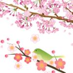 梅と桜の開花時期。2016年の予想は?