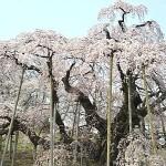 三春の滝桜の見頃と福島の温泉宿。周辺の桜情報も添えて。